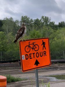 Hawk sits on a detour sign